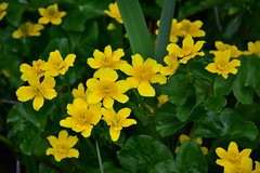 Marsh Marigold (John A King) Tags: marshmarigold calthapalustris kingcup
