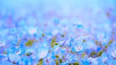 Blue dream (tomoko mori) Tags: blue flower field spring bokeh olympus tiny babyblueeyes nemophila