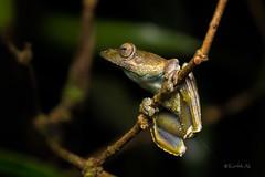 Kalakkad glider (AkDExplorer) Tags: wild india macro wildlife ngc amphibian frog explore monsoon western endangered gliding endemic tamilnadu westernghats ghats herping kalakkad rhacophorous