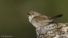 House Wren (Bob Gunderson) Tags: california birds northerncalifornia wrens southbay santaclaracounty ranchosanantonio housewren trigloydesaedon