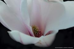 Tulpenbaum (Erwin Lorenzen) Tags: flower outdoor natur pflanze magnolia tamron blte garten frhling magnolie magnolien magnoliaceae canoneos5dmarkii magnolieblte