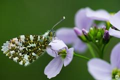 L'Aurore (mostodol) Tags: macro nature wow butterfly fuji papillon fujifilm aurore xa1 macrophotographie greatesphotographers