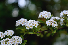 Flowery Festoon (Alexandra Horvath) Tags: flowers plant flower nature garden spring nikon hungary bokeh outdoor nikond3200