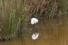 Aigrette garzette (TATIUMZI) Tags: france sony tokina marais oiseaux sudouest aquitaine gironde aigrette leteich aigrettegarzette garzette sonyalpha tokina30028 sonyalpha700