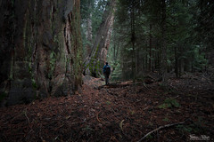 Hiking between giants (Frdric Pactat) Tags: california park nature forest ed nikon hiking surreal national d750 giants 20mm nikkor fx incredible sequoia afs supernatural f18g
