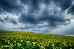 Rapsfeld im Aprilwetter / Rape field in April Weather (Claudia Bacher Photography) Tags: plant flower nature rain clouds schweiz switzerland heaven suisse outdoor natur pflanze himmel wolken blüte raps regen rapsfeld sonya7r