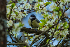 Great tit (axel_o_graph) Tags: 6 black tree 120 leaves canon lens eos tit d great blossoms feathers sigma tele axel mm 300 blooms ryder ste blte bltter baum blten federn kohlmeise tannenmeise