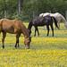 horses in field eating yellow buttercup flowers Newport News Va.