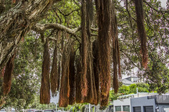 Broom like roots growing on the New Zealand Christmas Tree (firstfire53) Tags: newzealand devonport