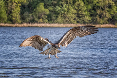 Lining Up on Approach (dngovoni) Tags: bird water river virginia spring action background raptor osprey jamesriver