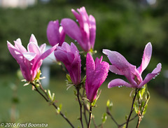 IMG_7371-1 (A.J. Boonstra) Tags: canon f14 magnolia usm ef50mm 700d