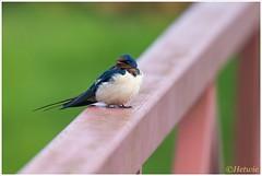 Boerenzwaluw (Hirundo rustica) (Hetwie) Tags: nature nederland natuur swallow barnswallow vogel gelderland zwaluw boerenzwaluw landvanmaasenwaal benedenleeuwen