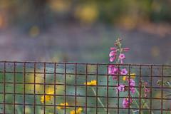 Breaking Free (mclcbooks) Tags: flowers arizona sun flower fence cage scottsdale desertbotanicalgarden