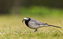 White wagtail with catch (SUNITPICS) Tags: food india bird nature rebel kiss alba bokeh outdoor habitat outskirts kanpur wagtail uttarpradesh whitewagtail motacillaalba motacilla t2i canon55250is speices canon550d