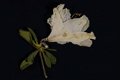 IMG_0094 Old Lace (oldimageshoppe) Tags: stilllife spring blossom azalea dried pressed