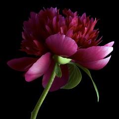 Peony R3 (Pixel Fusion) Tags: flower macro nature flora nikon peony d600
