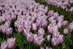 "Tulipa ""Candy Prince"" (larry_antwerp) Tags: flower netherlands nederland tulip tulp hulst flowerbulb zandberg"
