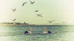 Will you be my forever bird ? (BlueberryAsh) Tags: ocean seagulls bird beach water nikon pelican geelong australianbird australianpelican corio nikond750