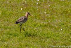 Grutto (Chantal van Breugel) Tags: vogels marken vogel noordholland nationale canon70300 grutto canon50d