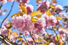springtime (p-ascoli) Tags: flowers plant flower tree leaves boston ma spring fuji massachusetts x fujifilm springtime xseries fujix xpro2 fujifilmx fujixpro2 fujifilmxpro2