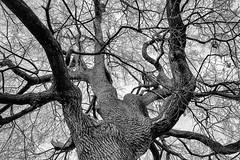 (Meine Sicht) Tags: leica blackandwhite bw tree natur sw monochrom schwarzweiss bäume baum stamm bergischgladbach siegaue fotokunst rauen leicam baumm leicamm wwwrauenfotode distagon3514zm