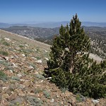 The highest bristlecone? - ancient bristlecone pine, Pinus longaeva, White Mountains, Inyo National Forest, elevation 3635 m (11930 ft) thumbnail