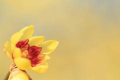 Yellow in the sky (Jien Tohr) Tags: winter plants flower wintersweet  fewcolors fairlytale