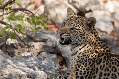 An unexpected find (Thomas Retterath) Tags: africa nature animals canon cub tiere wildlife natur leopard afrika aus predator mammals namibia allrightsreserved carnivore bigfive 2015 felidae pantherapardus säugetier raubtiere etoshanationalpark thomasretterath eos5dmarkiii copyrightthomasretterath ef300lis28usm