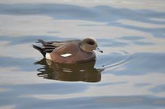 American Wigeon (Neal D) Tags: bird duck bc surrey crescentbeach americanwigeon anasamericana blackiespit
