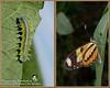Metamorfose - Mechanitis lysimnia (Marquinhos Aventureiro) Tags: brazil brasil butterfly wildlife natureza caterpillar vida borboleta floresta lagarta metamorfose metamorphose aventureiro selvagem marquinhos mechanitis lysimnia hx400