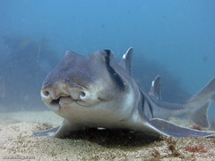 Port Jackson shark (richard ling) Tags: fish shark underwater au manly australia scuba diving nsw chordata elasmobranchii portjacksonshark heterodontus heterodontusportusjacksoni shellybeachmanlynsw heterodontiformes bullheadshark heterodontidae