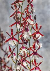 Orchid (unknown) (Rainer Fritz) Tags: orchid flower stuttgart natur orchidee blte wilhelma