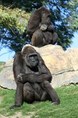 Gorilles de Côte (olivier.ghettem) Tags: africa ape primate afrique singe gorille femelle grandsinge bioparcvalencia gorilledecôte