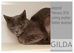 Gilda-Adopted (Ali Crehan) Tags: cat february shelter adopted 2016