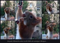 """Ein früher, sonniger Morgen gleich nachdem das Buffet gereicht war ... (flixx-ak) Tags: germany deutschland squirrel eichhörnchen 2016 flixxakoffenbachammainhessen """"anvormeinemfenster"""""""