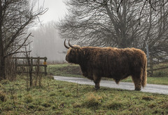 Highland Coo at Avington Park, Hampshire (neilalderney123) Tags: weather fog cow olympus winchester coo omd highlandcow avington 2016neilhoward
