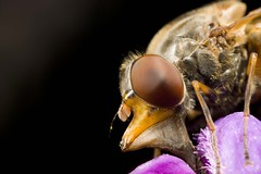 Bug (4foot2) Tags: macro eye animal closeup canon bug garden insect fly eyes close flash canon5d wildflowers diffuser macrolens 2016 compoundeye mpe65mm eos5d canonmt24ex homemadediffuser twinflash 4foot2 4foot2flickr 4foot2photostream fourfoottwo