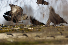 Kabbelei - 2016-002_Web (berni.radke) Tags: row fighting raven rabe squabble quarrel bicker wrangle kabbelei