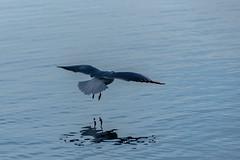Preparing Touch-down (*Capture the Moment*) Tags: blue winter reflection water wings wasser seagull flight blau mwe touchdown spiegelung tegernsee laketegernsee landung flug flgel 2016 elemente sonya77 farbdominanz