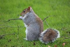 Sheffield Botanical Gardens 008 (Slimboy Fat) Tags: uk england squirrel sheffield sheffieldbotanicalgardens southyorkshire