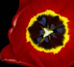 red tulip II (Danyel B. Photography) Tags: leica red flower macro nature colors close bokeh sony natur petal tulip 28 nah 60mm blume makro blte a7 farben tulpe rote elmarit bltenblatt