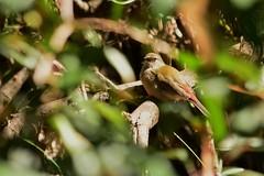 Red-browed Finch juvenile (Luke6876) Tags: bird animal wildlife finch australianwildlife redbrowedfinch