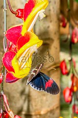 Transandina Cattle Heart Butterfly (kalypsoworldphotography) Tags: red wild white mountain plant black flower southamerica nature fauna forest butterfly insect four freedom ecuador flora rainforest legs background wildlife small wing lepidoptera caterpillar exotic jungle tropical andes rest feed pollen delicate patches swallowtail gentle fluttering andean amazonian amazonia siting brightly cattleheart specie transandina ecozone