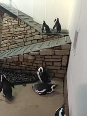 (Seann Michael Photography) Tags: aquarium penguins cincinnati newportaquarium cincinnatizoo
