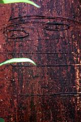 Two Eyed Bark _0411 (hkoons) Tags: red tree peru america libertad amazon rainforest warm country spanish bark jungle tropical tropics humid peruvian america latinamericasouth amazonbasin amazonrainforest