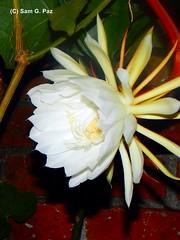 DSCN4469 Dama de noche (Sam G. Paz) Tags: naturaleza planta mxico flor veracruz jardn medioambiente 150601 xalapaver samgpaz