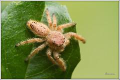 Araña saltadora - Jumping spider (J. Amorin) Tags: macro canon spider 100 mm araña jumpingspider salticidae macuspana amorin tabascomexico arañasaltadora arañasaltarina