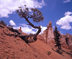 Bryce Canyon National Park (DrTebi) Tags: mediumformat utah unitedstates 6x7 brycecanyon plaubel rocktree makina670 nikkor80mmf28
