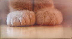 Bod shoes (Pog's pix) Tags: two pet white postprocessed macro reflection cute texture feet cat fur foot scotland ginger paw furry feline warm soft arty photoshopped creative bart kitty fluffy indoor indoors inside paws cosy bod ayrshire stewarton eastayrshire analogefexpro