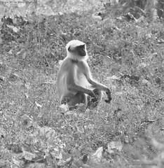 The Monk who sold his Lamborghini! (Rajit Pillai Photography) Tags: nature forest nikon safari jungle langoor 200500mm d5200